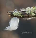 White-breasted Nuthatch, male.