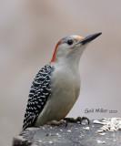 Red-bellied Woodpecker, female.