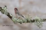 House Finch, male.