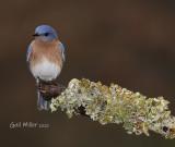Eastern Bluebird, male.
