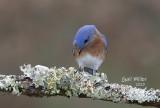 Estern Bluebird, male.