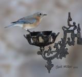 Easterm Bluebird, female.