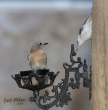 Eastern Bluebird, female and White-breasted Nuthatch