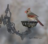 Northern Cardinal, female.