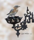 Eastern Bluebird, female.