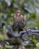 Red-winged Blackbird, female.