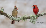 Northern Cardinals, female and male.