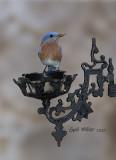 Easterm Bluebird, male.