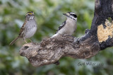 White-throated Sparrow and Downy Woodpecker
