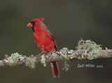 Northern Cardinal, male.