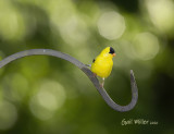 American Goldfinch, male.