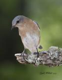 Easternn Bluebird, female.