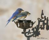 Easternn Bluebird, male and female.