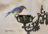 Easternn Bluebird, male.