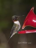 Ruby-throated Hummingbird, male.