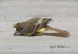 Great-crested Flycatcher sunning on a porch.