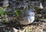 White-crowned Sparrow Fist I have seen on my property, in 42 years.