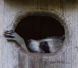 Raccoon In A Wood Duck Nest Box In My Backyard - April, 2020