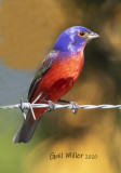 Painted Bunting, male.