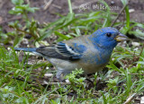 Lazuli Bunting, Male, At My Home (Some of these photos may be a hybrid)