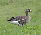 Greater White-fronted Goose at Petco Ponds in Conway, AR