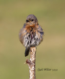 Eastern Bluebird, female.