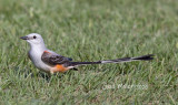 Scissor-tailed Flycatcher, male.