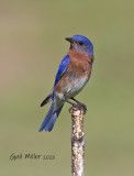 Eastern Bluebird, male.