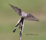 Scissor-tailed Flycatcher, female.