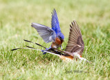 The bluebirds can be bossy!!  Eastern Bluebird, male and Scissor-tailed Flycatcher, male.