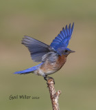 Eastern Bluebird male.