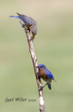 Eastern Bluebird male and female.