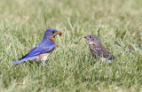 Eastern Bluebird male and baby.