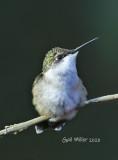 Hummingbirds 2020