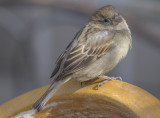 Chilly sparrow