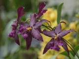 Orchids in purple and gold