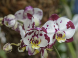 The spotted orchid