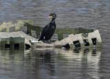 Last cormorant standing