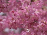 Showy cherry blossoms
