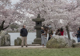 Glimpse of the Tidal Basin cherry blossoms