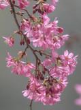 Backlit cherries