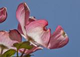 One dogwood petal