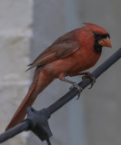 The handsome Mr. Cardinal
