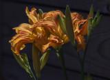 Carport day lilies