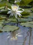 Kenilworth Aquatic Gardens in Summer