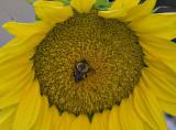 Neighboring sunflower
