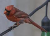 The pensive Mr. Cardinal