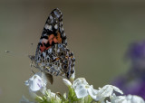 Another Franciscan butterfly