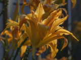 The end of the day lilies