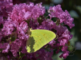 Brilliantly green butterfly